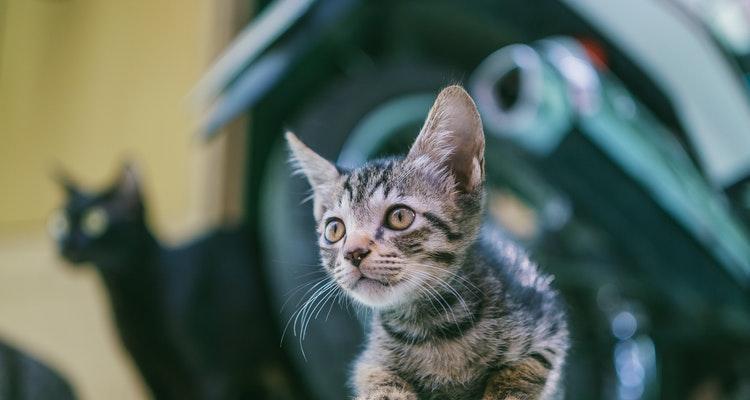 Cara Mengobati Kucing Keracunan